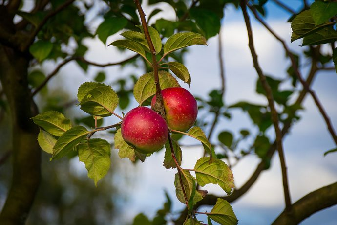 Apfelbaum der Sortenschau an der Templiner Kurmeile (Foto: Templiner.de)