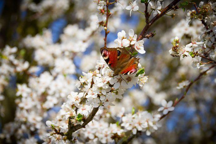 Wunderschöne Baumblüte mit Tagpfauenauge (Foto: Templiner.de)