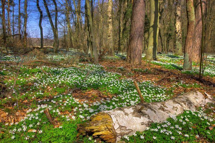 Boden bedeckt mit Anemonen in der Buchheide (Foto: Templiner.de)
