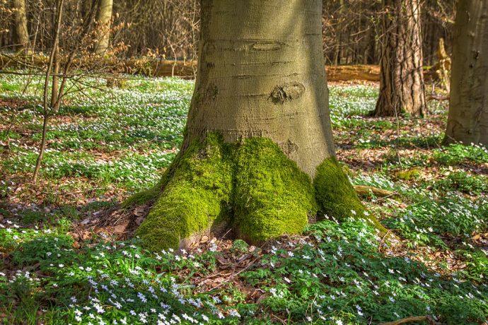 Baum mit Moosbewuchs (Foto: templiner.de)
