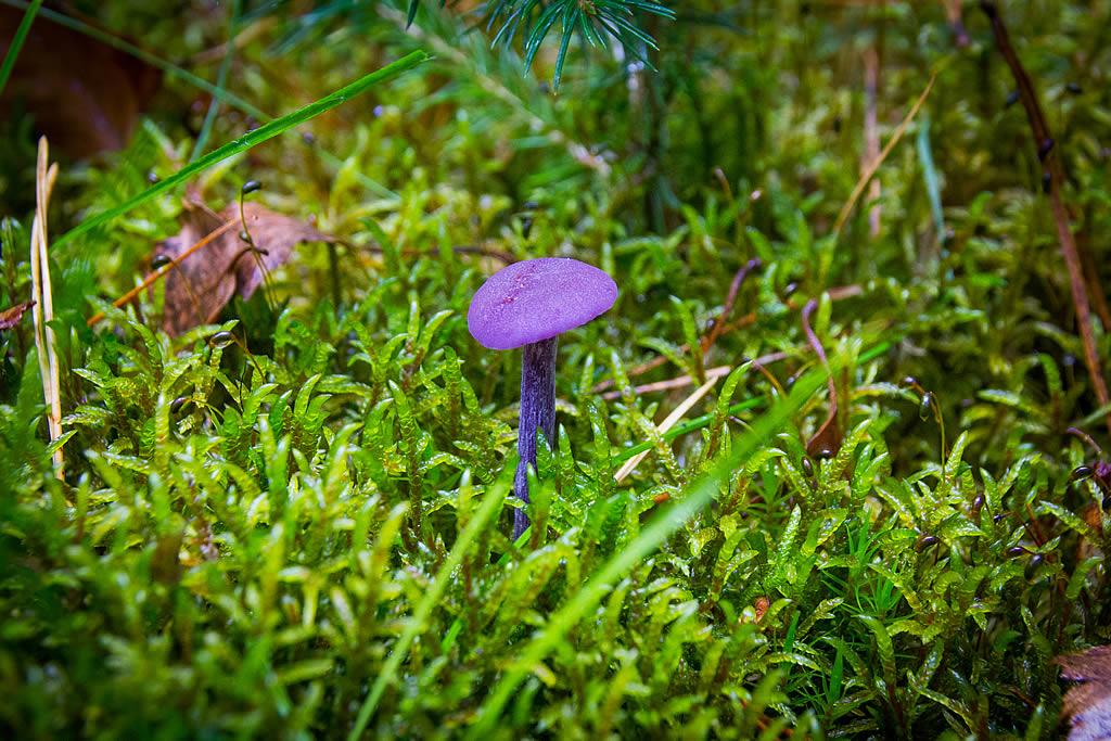 """Laune der Natur: Lila Pilze - vermutlich """"Violetter Lacktrichterling"""" (Foto: templiner.de)"""
