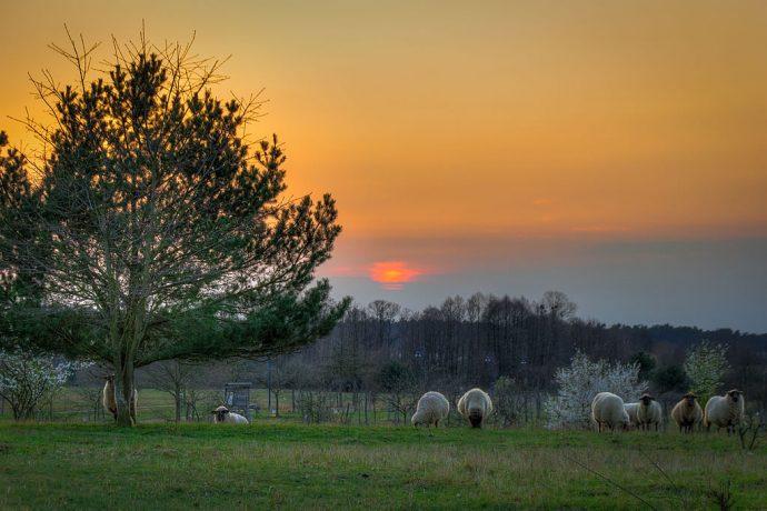 Schafe vor dem Sonnenuntergang an der Kurmeile (Foto: templiner.de)