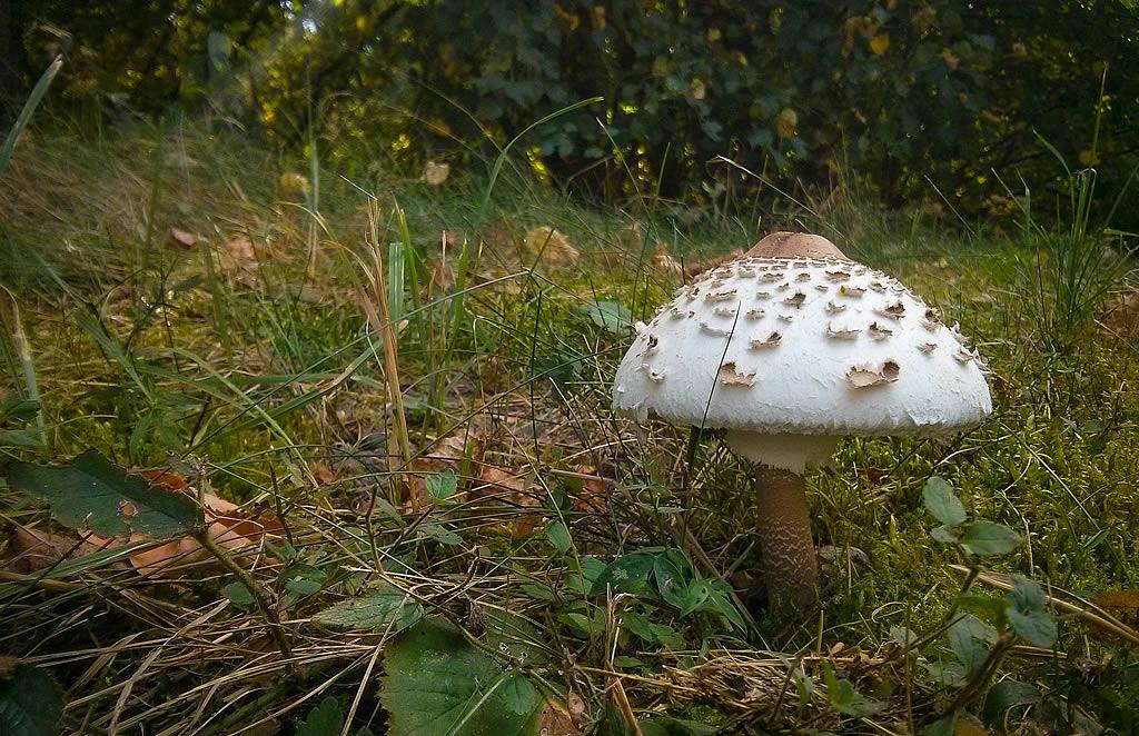 Schirmpilz in der Templiner Natur (Foto: templiner.de)